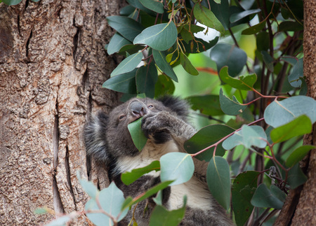 Portrait litlle cute Australian Koala Bear sitting in an eucalyptus tree and looking with curiosity. Kangaroo island.