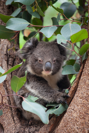 Portrait litlle cute Australian Koala Bear sitting in an eucalyptus tree and looking with curiosity. Kangaroo island.