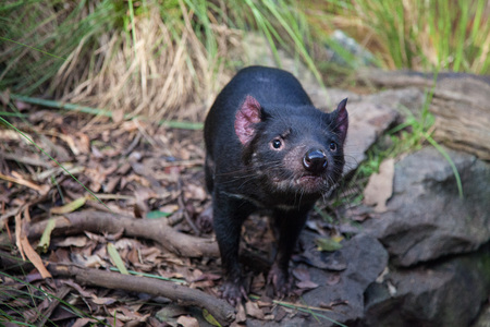 Closeup portrait of the Tasmanian devil Sarcophilus harrisii looking at the camera.