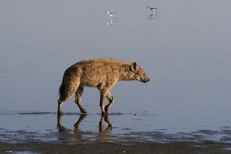 Spotted Hyena hunting flamingo on safari in Kenya. Sunrise in Nakuru lake