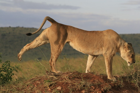 Famale lion lying in the dry grass resting and stretching in Masai Mara, Kenya