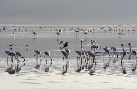 A colony of pink flamingos searches for mollusks and fish in the waters of the lake. Lake Nakuru, KENYA Imagens