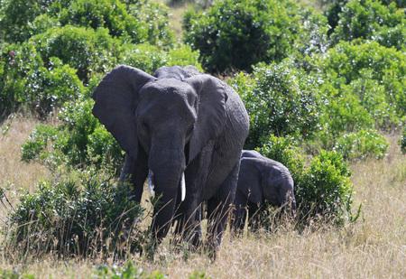 African elephant, Loxodonta africana, Massai Mara Park, Kenya, Africa