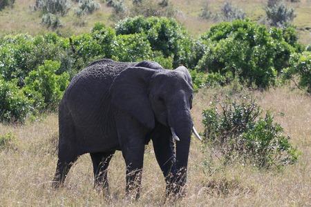 Big African elephant, Loxodonta africana, grazing in savannah in sunny day. Massai Mara Park, Kenya, Africa