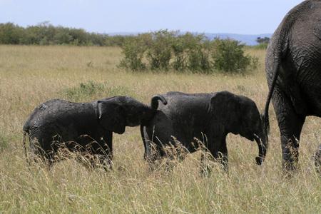 African elephant, Loxodonta africana, family grazing in savannah in sunny day. Massai Mara Park, Kenya, Africa Standard-Bild - 121179882