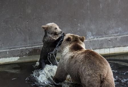 Jolie famille d'ours brun mère ours et son bébé jouant dans l'eau sombre Ursus arctos beringianus . ours du kamtchatka