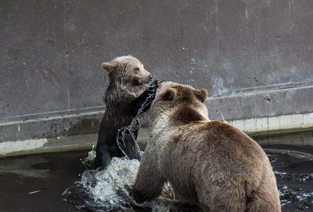 Nette Familie des Braunbärenmutterbären und seines Babys, das im dunklen Wasser Ursus arctos beringianus spielt. Kamtschatka-Bär