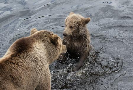 Nette Familie des Braunbärenmutterbären und seines Babys, das im dunklen Wasser Ursus arctos beringianus spielt. Kamtschatka-Bär Standard-Bild