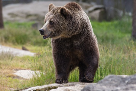 Closeup portrait of adult brown bear looking at you. Ursus arctos beringianus. Kamchatka bear