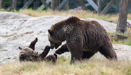 Cute family of brown bear mother bear and its baby cub playing in the grass. Ursus arctos beringianus. Kamchatka bear