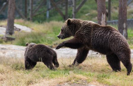 Leuke familie van bruine beer moeder beer en zijn babywelp spelen in het gras. Ursus arctos beringianus. Kamtsjatka beer