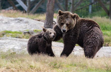 Cute family of brown bear mother bear and its baby cub playing in the grass. Ursus arctos beringianus. Kamchatka bear.