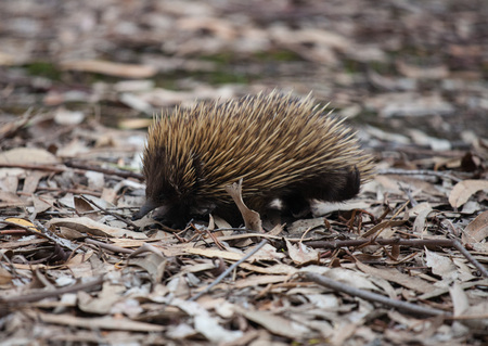 Wild short-beaked echidna with dirty muzzle walking between dry brown leaves in the eucalyptus forest. Australia. Tachyglossus aculeatus Imagens