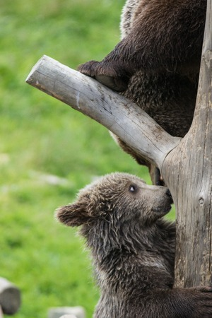 Cute family of brown bear mother bear and its baby cub playing on a tree trunk climbing and biting. Ursus arctos beringianus. Kamchatka bear.