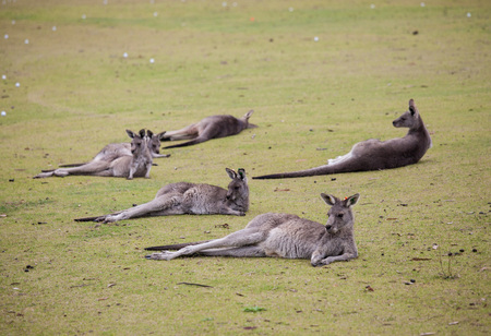 Group cute australian Kangaroo lying on the green golf field and relaxing. Zdjęcie Seryjne