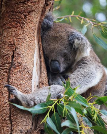 Portrait cute Australian Koala Bear sitting and sleeping in an eucalyptus tree . Kangaroo island. Stock Photo