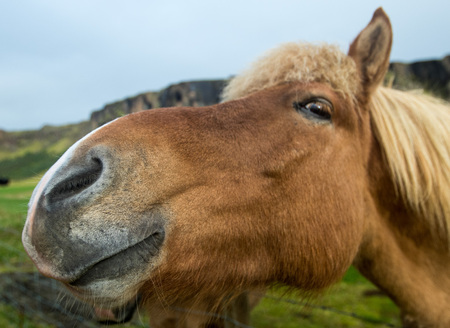 Funny icelandic curious horse looking at the camera. Selective focus on the nose.