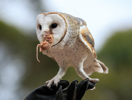 Cute barn owl, Tyto alba, with large eyes caught a mouse and eats her. Owl hunter with a mouse in a beak.