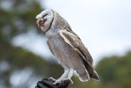 Cute barn owl, Tyto alba, with large eyes sitting on the leather glove caught a mouse and eats her. Owl hunter with a mouse in a beak.
