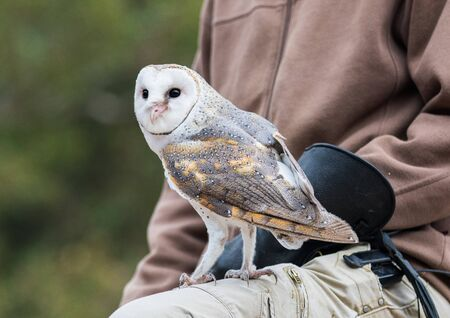 Cute barn owl, Tyto alba, with large eyes and face looks like a heart sitting on a lap of its owner. Tame owl