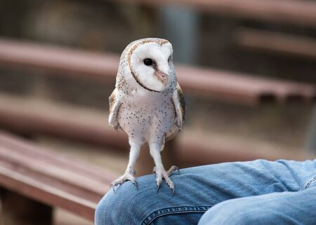 Cute barn owl, Tyto alba, with large eyes sitting on a lap of its owner. Tame owl