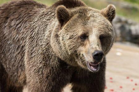 Closeup portrait of huge adult brown bear looking with interest. Ursus arctos beringianus. Kamchatka bear