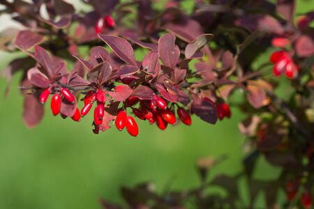 Barberry, Berberis vulgaris, branch with natural fresh ripe red berries background. Red ripe berries and colorful red and yellow leaves on berberis branch with green background