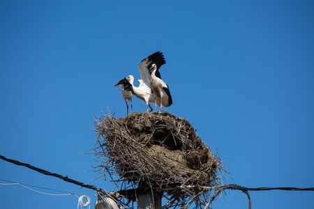 Three white storks in a big destroyed nest on electric pole among wires in Transylvania village. Romania 写真素材