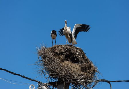 Three white storks in a big destroyed nest on electric pole among wires in Transylvania village. Romania. 写真素材
