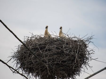 White storks in a big nest on electric pole among wires in Transylvania village. Romania.