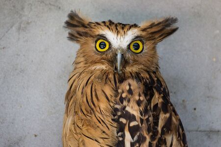 Portrait of angry buffy fish owl, Ketupa ketupu, also called the Malay fish owl, awaken and disturbed by strange sound gazing its big yellow and eyes