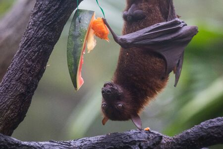 Fruit bat also known as flying fox with big leather wings hanging upside and down eating juicy orange and watermelon Stockfoto
