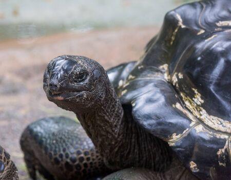 Closeup portrait of Galapagos giant tortoise ,Chelonoidis nigra, with bright black eyes looking curiously