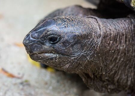 Closeup portrait of Galapagos giant tortoise ,Chelonoidis nigra, with bright black eyes looking curiously