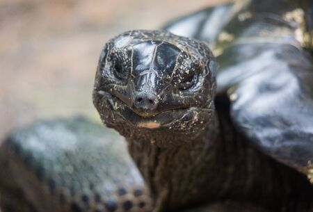 Closeup portrait of Galapagos giant tortoise ,Chelonoidis nigra, with bright black eyes looking curiously. Selective focus on the nose