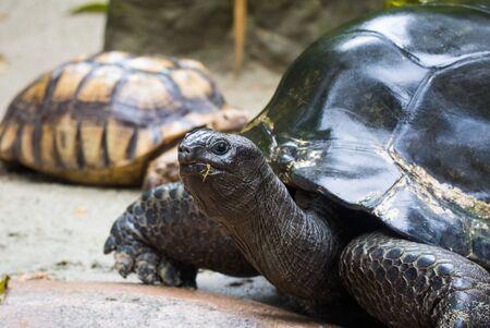 Closeup portrait of Galapagos giant tortoise ,Chelonoidis nigra, with powerful paws, bright black armour and wrinkled neck.