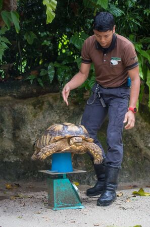 Singapore. Singapore - 25 August 2018: Galapagos giant tortoise ,Chelonoidis nigra, with powerful paws, bright yellow armour and wrinkled neck weighed to control growth in the zoo 에디토리얼