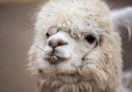 Closeup portrait of an adorable cute white curly shagged female alpaca with with an amusing headdress chewing a dry leaves with wonky teeth .Vicugna pacos