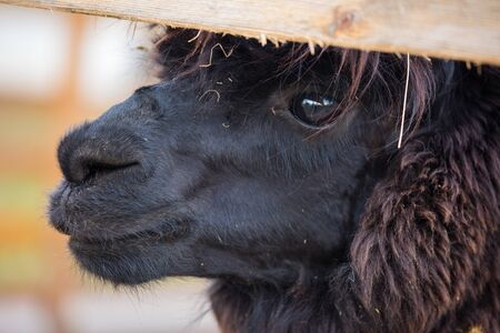 Closeup portrait of an adorable cute black curly shagged male alpaca with hurted eye looking through a fence .Vicugna pacos.