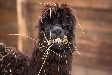 Closeup portrait of an adorable cute black curly shagged male alpaca with hurted eye chewing a dry grass with wonky teeth .Vicugna pacos.