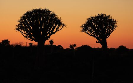 Silhouette of a quiver trees ,Aloe dichotoma, at orange sunset with carved branches on against the sun looking like a graphic design. Namibia.