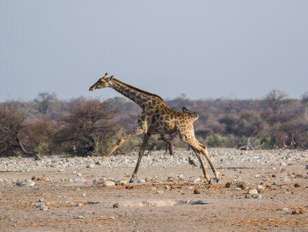 Frightened giraffe running away from predator over sandy plains of Etosha. Namibia. Africa
