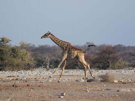 Frightened giraffe running away from predator over sandy plains of Etosha. Namibia. Africa. Foto de archivo