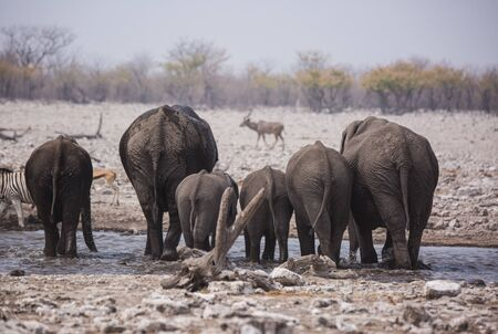 Large herd of elephants drinking water and taking mud baths in waterhole with gently touching each other with huge trunks. Africa. Namibia. Etosha national park.