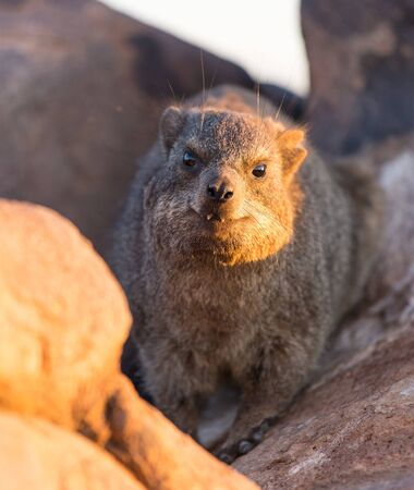 Daman siting on a stone and basking in the sun and looking friendly and with interest. Namibia. Africa