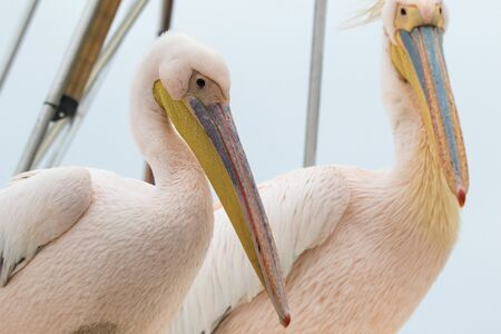Group of beautiful water bird Pink-backed Pelicans with yellow beak and gentle pink feathers and funny topknot sitting on ship deck and begging food from people without fear them. Namibia. Foto de archivo