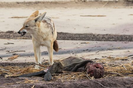 Hungry Black backed jackal eating killed seal cub and guarding catch standing on ocean coast. Namibia Stock Photo
