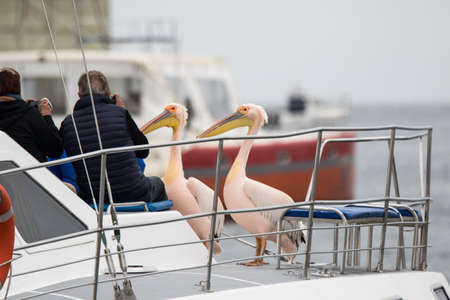 Walvis Bay, NAMIBIA -Sep 03 2019: Group of beautiful water bird Pink-backed Pelicans with yellow beak and gentle pink feathers sitting on ship deck and begging food from people without fear them Editorial