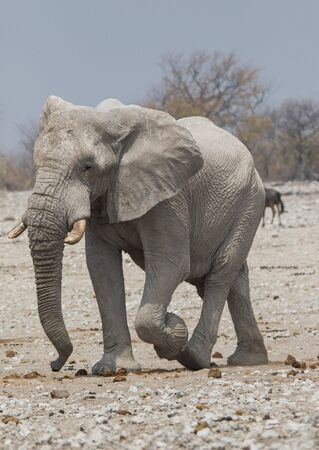 One big male African Elephant walking down the plains of Etosha National Park. 免版税图像