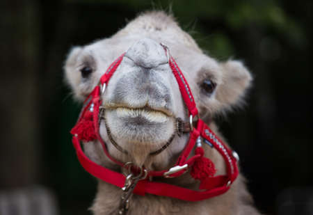 Closeup portrait of cute camel with red harness looking at thr camera.